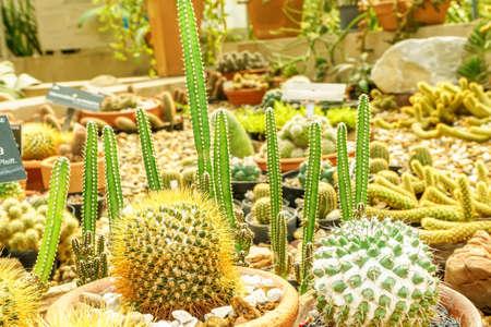 Cactus grown in pots. It is a plant that is in the desert. Banco de Imagens