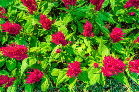 Celosia argentea or The silver cock's comb on a nature background.
