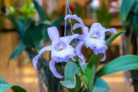 Cattleya orchids bloom on a nature background.