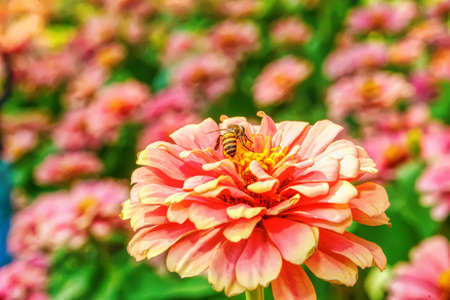 Bee eating pollen from zinnia elegans on a nature background.