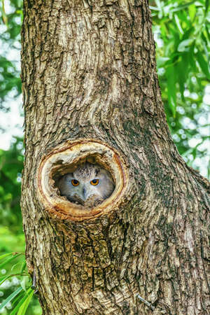 Owl lives in a nest on a big tree. It is a popular pet in Thailand.