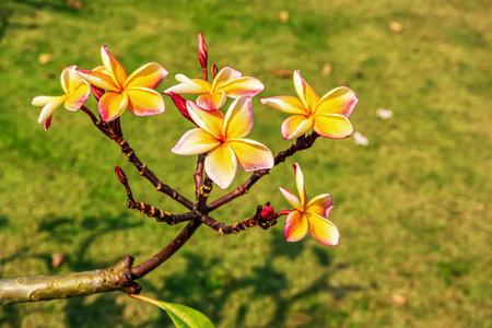 Plumeria flowers are so beautiful that popular in Thailand.