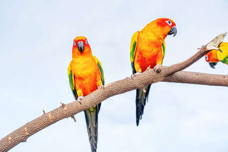 Conures perched on a branch. Bird is a popular pet in Thailand. 版權商用圖片