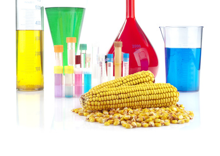 genetically modified organism: Genetically modified organism - maize and laboratory glassware on white background