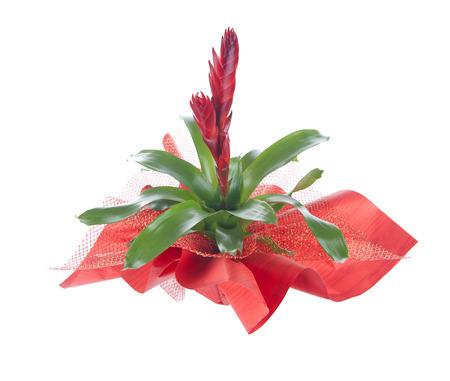 vriesea: Flower in pot, isolated on white, Vriesea splendens