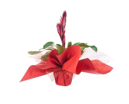 vriesea: Fiore in pentola, isolato su bianco, splendens Vriesea Archivio Fotografico