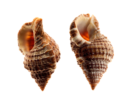 shells of sea snail