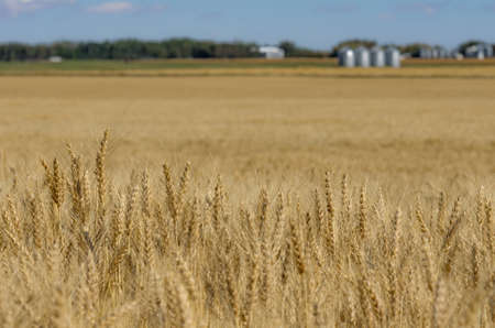 Standing grain waiting to be harvested