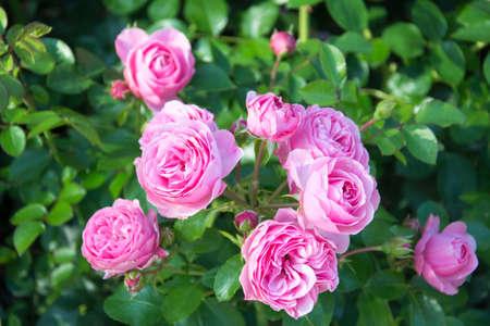 da: leonardo da vinci rose Stock Photo