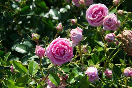 queen of denmark rose