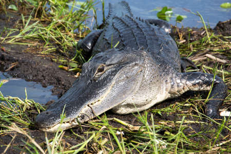 climas: Alligatorin los Everglades de Florida