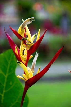 sanur: Heliconia flower Stock Photo