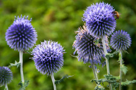 beautiful echinops ritro