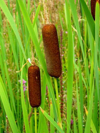 photo of reed Stock Photo