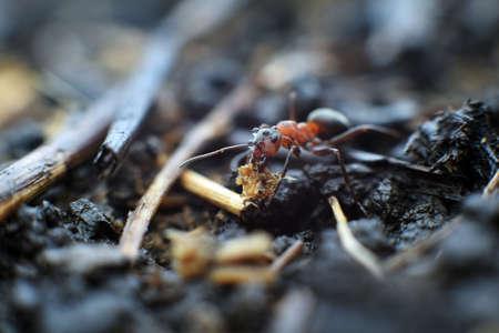 pismire: Assisting ant