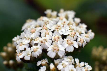 milfoil: Milfoil flower  Stock Photo