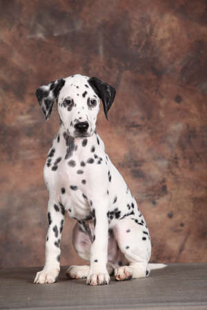 carnal: Young Dalmatian sitting looking across Stock Photo