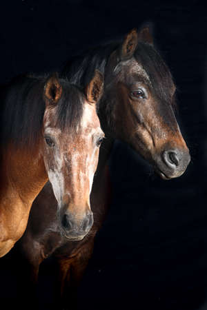 comic duo: Portrait of two horses face on black background