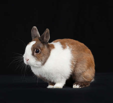 carnal: Young white rabbit sitting on a black background