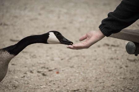 Hand feeding a wild Canadian goose. photo