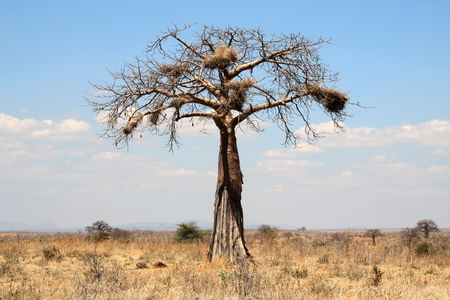 Thin baobab tree with big nests in african savanna photo