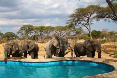 A group of wild elefphants around swimming pool in camp. photo