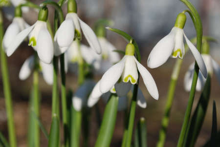 Tender snowdrops are the first spring flowers. Stock Photo