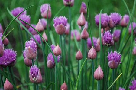 cebollines: Chives