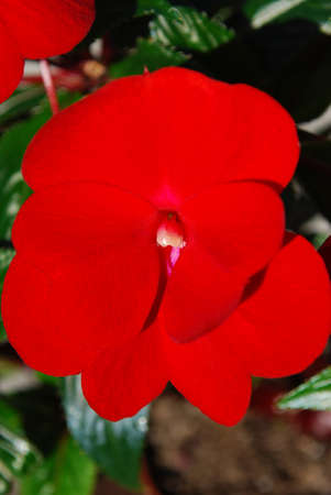 room flowers - brightly red balsam
