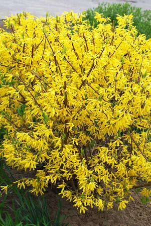 flowering bushes - yellow, bright forsythia