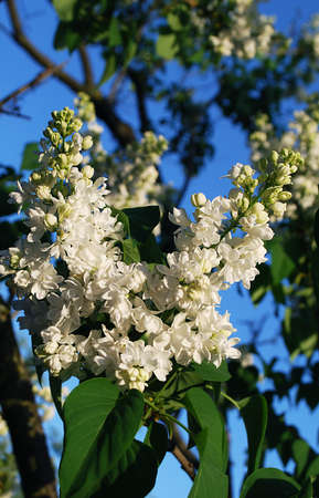 inflorescence of white lilac on the background of blue sky