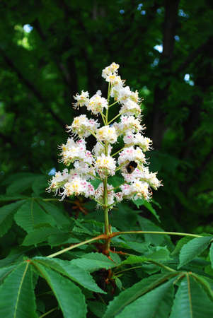 inflorescence of chestnut among a green-leaf