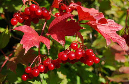 juicy bunches of red viburnum in the autumn garden