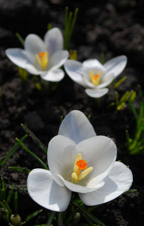 delicate white crocuses delight in early spring