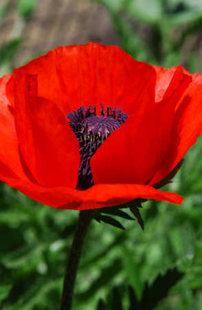 bright red poppies beautifully decorate the garden