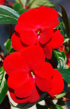 two large red balsam flowers flower bed decoration