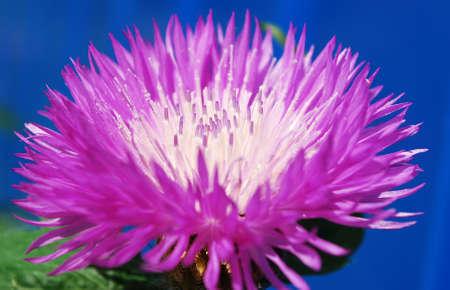 bright pink cornflowers decorative decoration flower beds