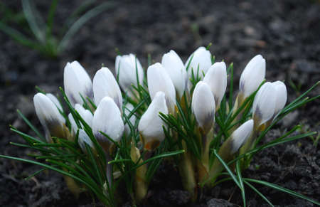 delicate white crocuses bloom in early spring
