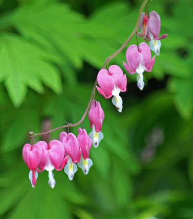 Bleeding Heart Flower Stock Photo - 9733829