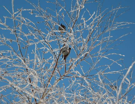 Two bird on the tree with ice photo