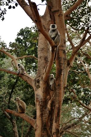 siting: Monkey siting on a tree, Rishikesh, India. Stock Photo