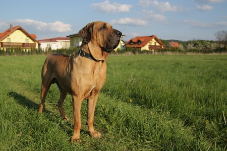 Fila brasileiro next to houses on field