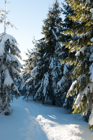 hoarfrost: Winter landscape with high spruces and snow in mountains, Czech Republic Stock Photo