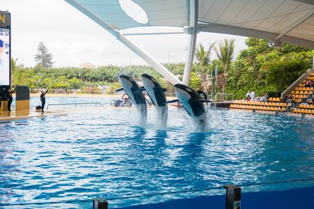 PUERTO DE LA CRUZ, TENERIFE - 11.02.2017: Show of killer whales in the Loro Parque, which is now Tenerifes second largest attraction with europes biggest pool in Tenerife, Spain