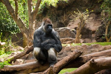 Portrait of big, black gorilla at the zoo on brown-green background, outdoor in Loro Park, Tenerife, Canary islands, Spain Stock Photo