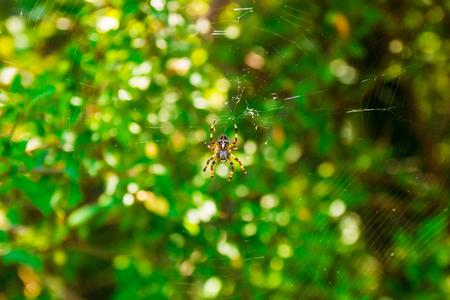 frightful: Spider Araneus and web on blackberry bush in mountain of Montenegro Stock Photo