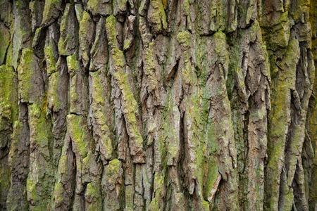 tree bark with moss texture, wooden background Foto de archivo