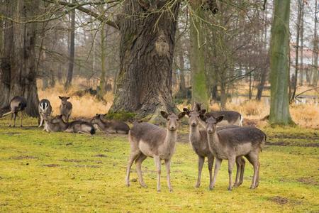 Group of female fallow deers in the forest Foto de archivo