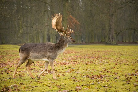 Fallow male deer in the forest, wildlife of Europe