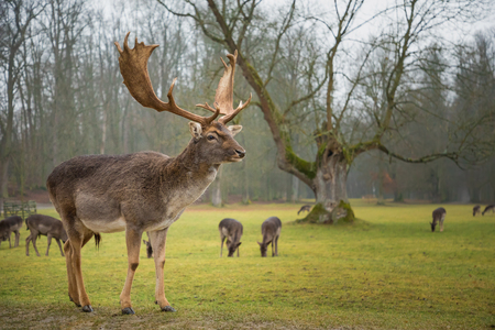 Fallow male deer in the forest, wildlife in Europe